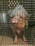 Minischwein-Der Fall Kati ist abgeschlossen