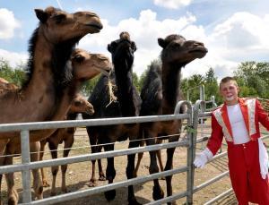 Neben Dromedaren treten im Zirkus Altoff Köllner auch noch Pferde, Ponys, Ziegen und Lamas auf. - FOTO: Andreas Baum