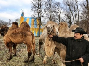 Unser Archivbild zeigt die Kamele im Zirkus Renz- Foto: Stefan Arend / FUNKE Foto Services