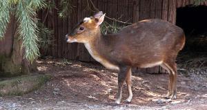 Vier Chinesische Muntjaks, drei Weibchen und ein Männchen, leben derzeit noch im Zoo Leipzig.Quelle: Zoo Leipzig