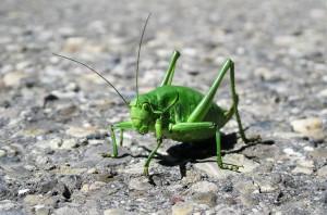 insekten-grille