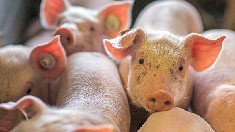 tierschuetzer-sachsen-anhalt-schweinezuchtanlage